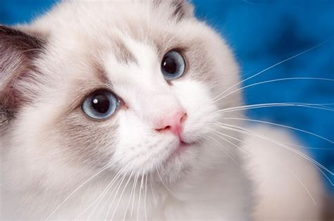 how does a cat live how long do ragdoll cats live 3 odd secrets on its lifetime tinpaw