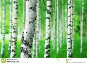 Achat Tronc Arbre Decoratif : tronc d 39 arbre de bouleau photo stock image 55579649 ~ Zukunftsfamilie.com Idées de Décoration