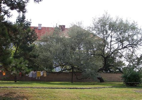 schnell wachsender baum mit breiter krone elaeagnus angustifolia malerischer baum mit breiter krone ideal als schattenbaum