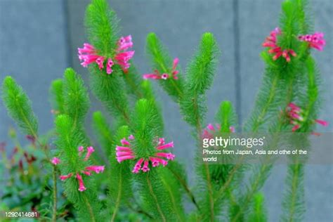 Erica Flower Photos and Premium High Res Pictures - Getty ...