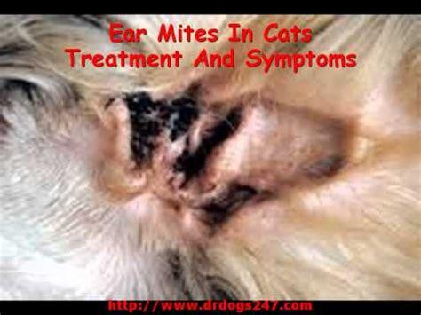 ear mites  cats treatment  symptoms youtube