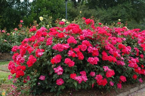 shrub roses knock out 174 roses colors variety and care the planting tree