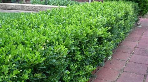 compact single beds edge your bed with low growing shrubs grow beautifully