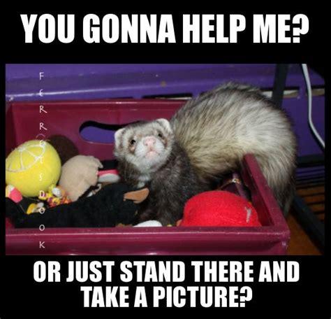 Ferret Meme - 41 best ferret anatomy images on pinterest ferrets anatomy and anatomy reference