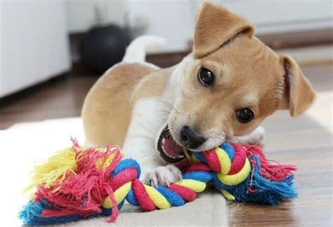 chew toys  puppies   choose   dental