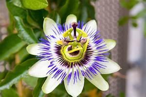 Pflege Passionsblume Zurückschneiden : passionsblume passiflora pflege vermehrung majas ~ Lizthompson.info Haus und Dekorationen
