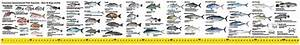 Queensland Fishing Guide Decal 105cm Long Ruler Sticker