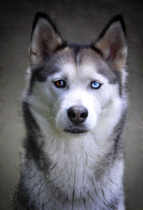 husky siberiano heterocromia husky love snow dogs