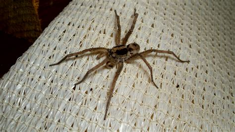 what does a wolf spider look like file wolf spider lycosidae jpg wikimedia commons