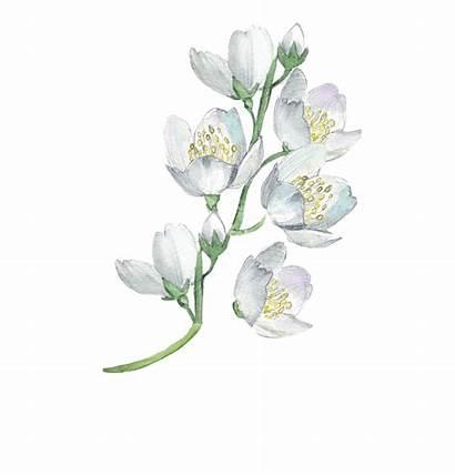 Watercolor Transparent Flower Flowers Floral Painting Clipart