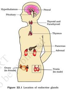 parathyroid glands located endocrine glands and hormones pmf ias