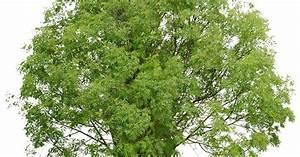Laubbaum Mit Roten Blättern : gemeine esche b ume pinterest gemein pflanzen und laubbaum ~ Frokenaadalensverden.com Haus und Dekorationen