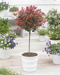 Photinia Red Robin : pair of evergreen photinia little red robin trees ~ Michelbontemps.com Haus und Dekorationen