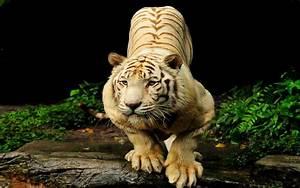 Tigre blanco Full HD Fondo de Pantalla and Fondo de ...