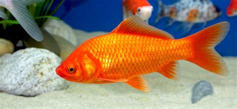 wie groß werden goldfische aquarium f 252 r goldfische einrichten