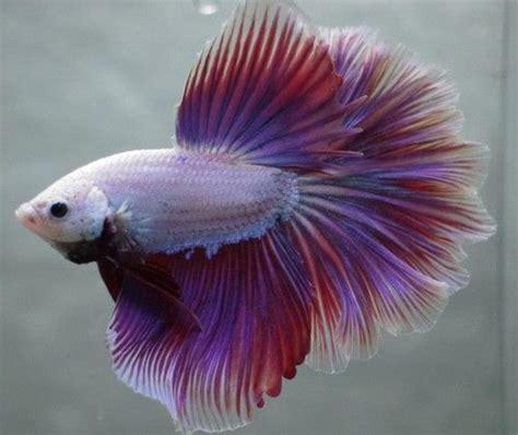 tropical fish lavender pink white dragon rosetail