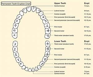 Diagrams Of Teeth Printable