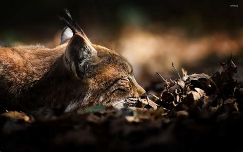 Epic Animal Wallpapers - lynx 2 wallpaper animal wallpapers 34261
