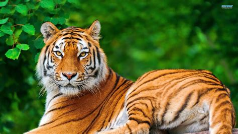 Hd Wallpapers Animals Tigers - wallpaper animals tiger