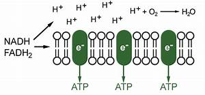 Plytomurli  Electron Transport Chain
