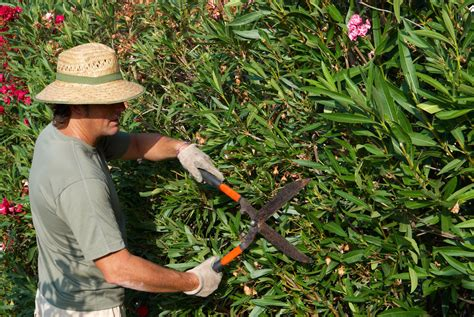 how to trim bushes oleander trimming learn how and when to prune oleanders