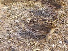gabbie per quaglie a terra coturnix coturnix la enciclopedia libre