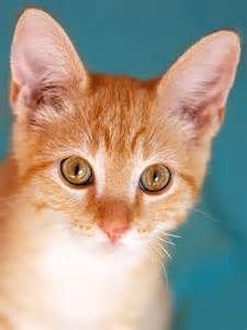 tabby cat orange orange tabby kitten photograph