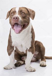 Pitbull white and brown with tongue out — Stock Photo ...
