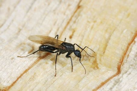 household ants  mississauga pestend pest control
