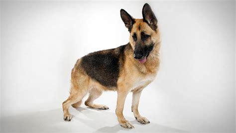 german shepherd dog breed selector animal planet