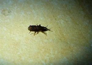 Insecte De Maison : dryophthoridae petit insecte noir dans la maison le ~ Melissatoandfro.com Idées de Décoration