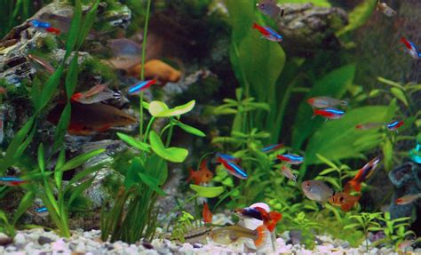 neon tetra fish facts care disease tank mates