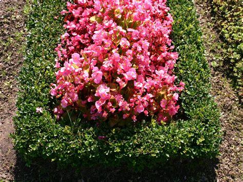 buchsbaum buxus sempervirens baumschule horstmann