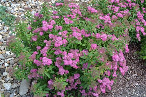 spirea plant neon flash spirea displays dark green foliage and neon pink flowers
