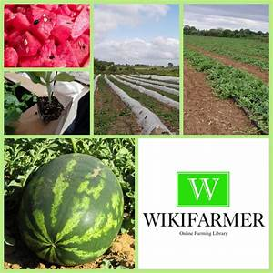 Growing Watermelons For Profit