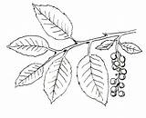 Ivy Poison Plant Drawing Coloring Vine Plants Getdrawings sketch template