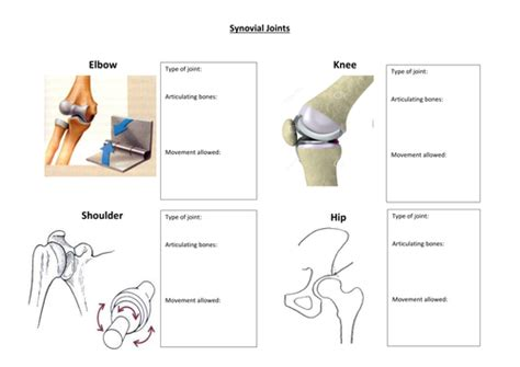 Synovial Joints Worksheet By Davidharmer