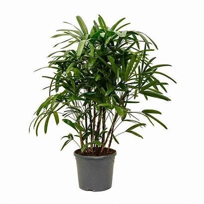Palm Rhapis Excelsa Lady Indoor Plant Hortology