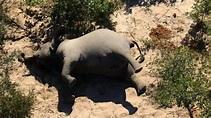 慟!非洲驚傳350頭大象離奇暴斃 專家:恐成新公衛危機 | 東森最即時最快速新聞