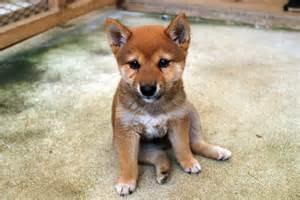 子犬:豆柴 子犬
