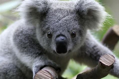 habitat si e social il koala e i pericoli per il suo popolo