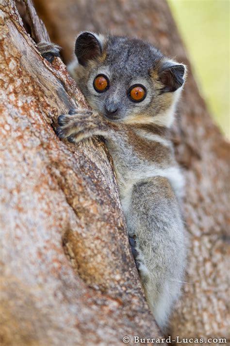 Sportive Lemurs Lemur Photos