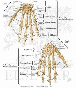 Bones Of Wrist And Hand