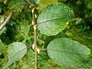 Trees Planet: Salix caprea – Goat Willow – Sallow