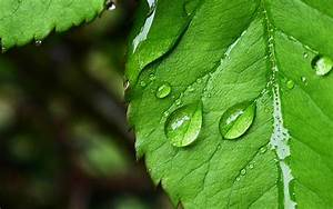 Hd 1280x800 Green Leaf And Water Desktop Wallpapers ...