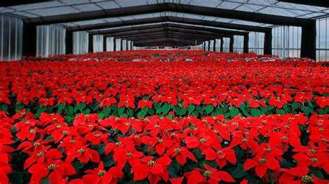 poinsettia greenhouse poinsettia plant bing images