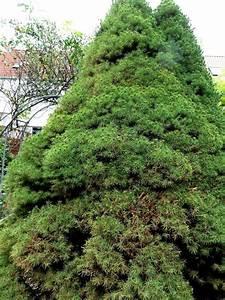 Lebensbaum Wird Braun : koniferen werden braun koniferen werden innen au en braun ~ Lizthompson.info Haus und Dekorationen
