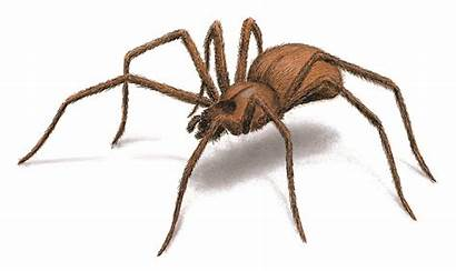 Spider Spiders Recluse Brown Safe Identification Facts
