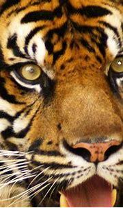 Tiger Eyes_filtered | KelliMays | Flickr