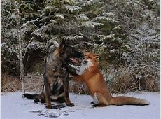 Tinni the dog and Sniffer the fox are a reallife 'Fox and
